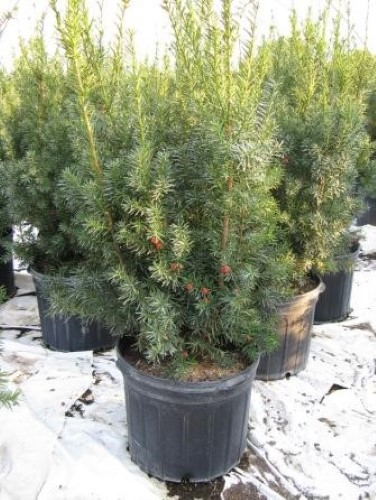 taxus x media hicksii hicks yew lincoln. Black Bedroom Furniture Sets. Home Design Ideas