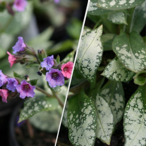 Silver Bouquet Lungwort Lincoln