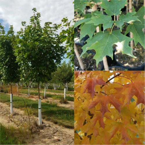 Acer Maple Fall Fiesta Sugar Maple Lincoln